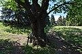 80-382-5018 Kozlowsky Oak DSC 3315.jpg