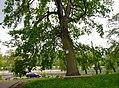 80-385-5020 Kyiv 6 November Oak SAM 0002.jpg