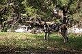 AFRICAN WILD DOG (14007668514).jpg