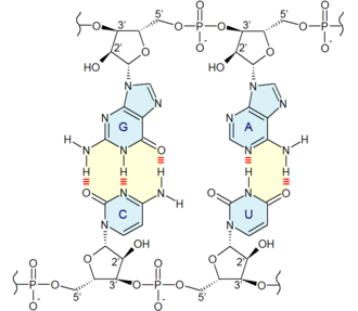 Nucleobase - Base pairing: Two base pairs are produced by four nucleotide monomers, nucleobases are in blue. Guanine (G) is paired with cytosine (C) via three hydrogen bonds, in red. Adenine (A) is paired with uracil (U) via two hydrogen bonds, in red.