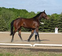 AWB filly being shown in hand.jpg
