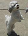 A Coton de Tulear dog.jpg