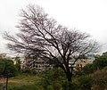 A Dry tree beside rail tracks in Safilguda.JPG