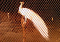 A Leucistic peafowl in a cage at Zoo park in Visakhapatnam 01.jpg