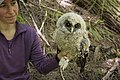 A newly tagged juvenile Spotted Owl (14412597989).jpg