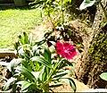 A pink flower in a home garden.jpg