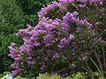 A purple flowering bush..jpg