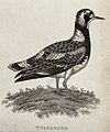 A turnstone bird. Etching. Wellcome V0021249EL.jpg