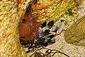 Aardbeianemoon (Actinia fragacea).jpg