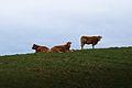 Abaconda ocean cows.jpg