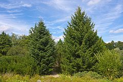 Abies cephalonica on left