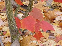 Acer capillipes1