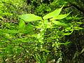 Acer carpinifolium 6.JPG