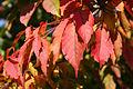 Acer cissifolium JPG1c.jpg
