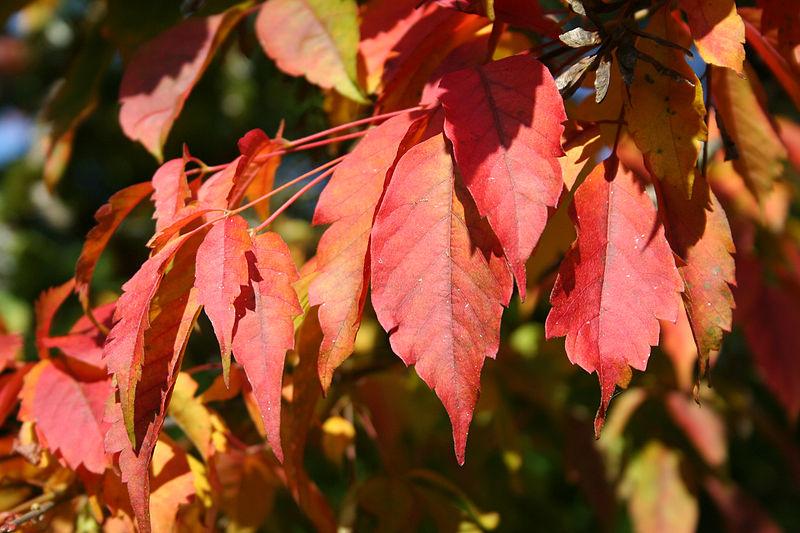 feuilles erable en automne