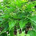 Acer ginnala leaves, flowers, and samaras.jpg