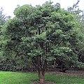 Acer griseum Kew.jpg
