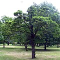 Acer platanoides 'Pyramidale Nanum'.jpg