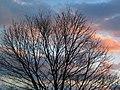 Acer saccharum (sugar maple tree in winter) (Newark campus of Ohio State University, Newark, Ohio, USA) (3 February 2017) (32586781371).jpg