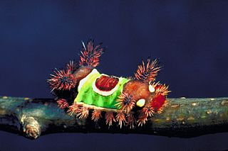 Saddleback caterpillar Larva of a eastern North American moth