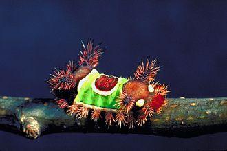Saddleback caterpillar - Image: Acharia stimulea 0795036