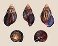 Achatina immaculata 01.JPG