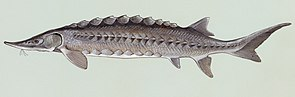 Atlantischer Stör (Acipenser oxyrinchus oxyrinchus)