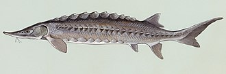Atlantic sturgeon - Image: Acipenser oxyrhynchus