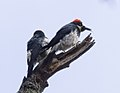 Acorn woodpeckers on Angel Island (40099).jpg