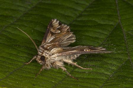 Actinotia polyodon, Lodz(Poland)03(js).jpg