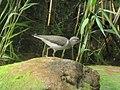 Actitis macularius (Scolopacidae) - (adult), Lake Ontario (NY), United States.jpg
