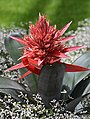Aechmea 'Harvito' Flower.JPG