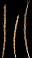 Aegilops tauschii - Afghanistan ARS-3.png