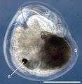 Aeolidiella stephanieae 6.png