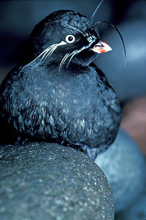 <i>Aethia</i> genus of birds