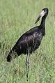 African openbill, Anastomus lamelligerus, at Kruger National Park, South Africa (26391560353).jpg