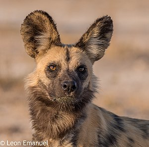 Khutse Game Reserve - african wild dog