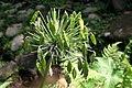 Agapanthus africanus 6zz.jpg