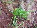 Agapanthus praecox orientalis Willd. (AM AK357644-2).jpg
