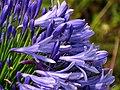 Agapanto (Agapanthus praecox) - Flickr - Alejandro Bayer (7).jpg