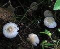 Agaricus species W IMG 2707.jpg