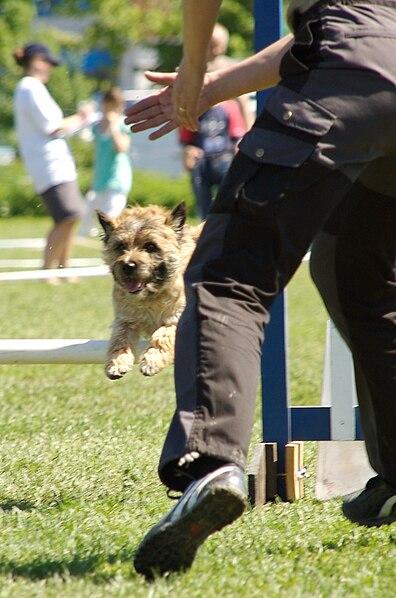 File:Agility Cairn Terrier.jpg