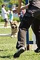 Agility Cairn Terrier.jpg