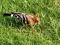 Agra 53 - Eurasian hoopoe in Red Fort (41336490324).jpg