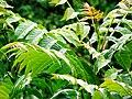 Ailanthus altissima-2.jpg