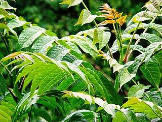 Pajaseň žliazkatý (lat. Ailanthus altissima) - listy