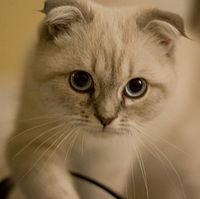 Aimee Scottish Fold.jpg