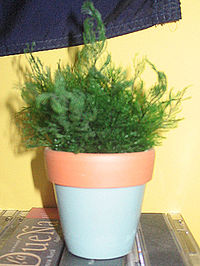 Green Family Stores >> Air fern - Wikipedia