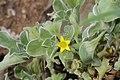 Aizoon canariense (Aizoaceae) (4967583505).jpg