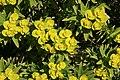 Alcúdia - Cami de Manresa - Euphorbia dendroides 09 ies.jpg